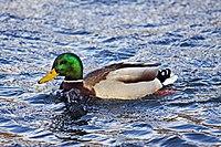 Duck (3128750571).jpg