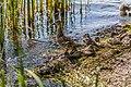 Duck (44200824111).jpg