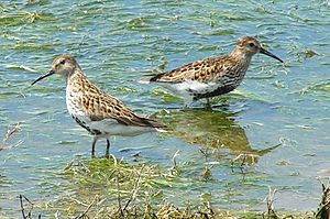 Dunlin - On the East coast of England
