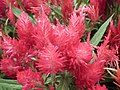 Dwarf Celosia from Lalbagh flower show Aug 2013 8081.JPG