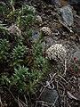 Dwarf Thistle (3260578827).jpg