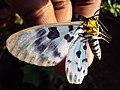 Dysphania percota - The Blue Tiger Moth 02.JPG