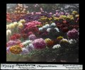 ETH-BIB-Chrysanthemen, Palmengarten, Frankfurt am Main-Dia 247-02465-1.tif