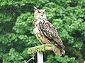 Eagle Owl (Bubo bubo) - geograph.org.uk - 184214.jpg