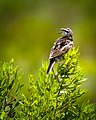 Eastern Meadowlark, Aransas NWR, Texas (31240533).jpg