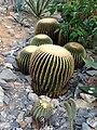 Echinocactus grusonii (Ohkh5656).jpg