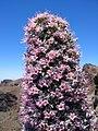 Echium wildpretii ssp trichosiphon.jpg