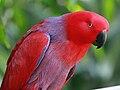 Eclectus Parrot RWD.jpg