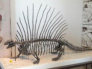 Edaphosaurus - Restored specimen of E. boanerges, AMNH