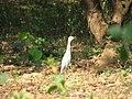 Egret aralam.jpg
