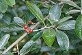 Elaeagnus multiflora kz1.JPG
