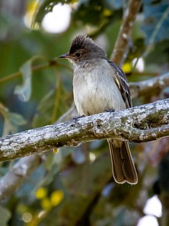 Brownish elaenia Species of bird