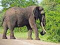 Elephant (Loxodonta africana) big tusker (13782424994).jpg