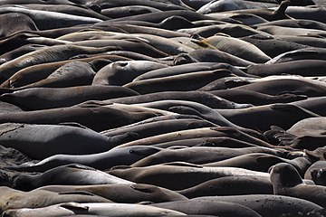 Elephant Seals at Piedras Blancas, California.jpg