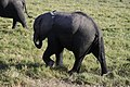 Elephants of Kenya 29.jpg