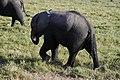 Elephants of Kenya 29.jpg