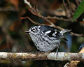 Elfin-woods warbler sitting on the branch.jpg
