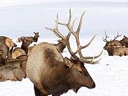 Elk InHardWareRanch