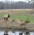 Elk at nickel preserve.jpg