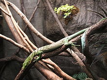Emerald tree monitor, Boston.jpg