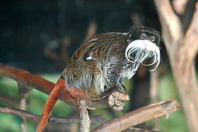 Description de l'image Emperor Tamarin SF ZOO.jpg.
