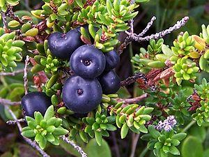 Greenlandic cuisine - Crowberries (Empetrum nigrum)