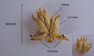 Spikelet - Parts of a single grass spikelet, consisting of two glumes, four fertile florets, with one additional central floret that may or may not be sterile