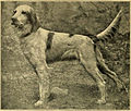 English setter - Llewellin bloodline.jpg