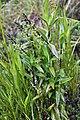 Epidendrum macrostachyum (Orchidaceae) (31107225707).jpg