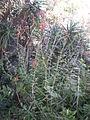Epidendrum radicans 1c.JPG