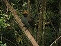 Epimachus meyeri -Papua New Guinea-8.jpg