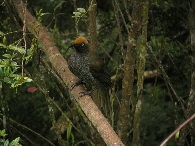 http://upload.wikimedia.org/wikipedia/commons/thumb/b/b6/Epimachus_meyeri_-Papua_New_Guinea-8.jpg/800px-Epimachus_meyeri_-Papua_New_Guinea-8.jpg