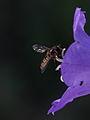 Episyrphus balteatus (Syrphidae) - marmelade hover fly (8978388968).jpg