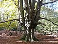 Epping Forest pollard.jpg