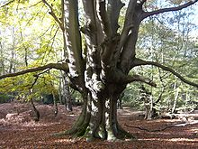 Epping Forest - Wikipedia