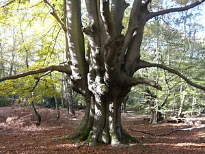 Pollarding - Ancient pollarded beech tree in Epping Forest, Essex, England
