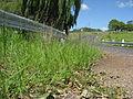 Eragrostis pilosa habit2 (7325012036).jpg