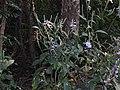 Eranthemum roseum Raan Aboli by Raju Kasambe DSCN3680 (11).jpg