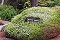 Erica carnea 'Springwood White' IMG 2587.jpg