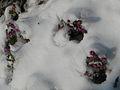 Erica darleyensis en hiver (3).JPG