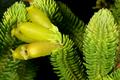 Erica foliacea var. foliacea 1DS-II 3-5141.png