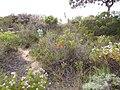 Erica mammosa red IMG 7345.jpg