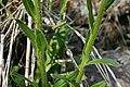 Erigeron strigosus - Flickr - aspidoscelis (2).jpg