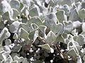 Eriogonum ovalifolium depressum (4349969167).jpg