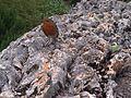 Erithacus rubecula - kew 1.jpg