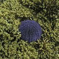 Erizo de mar violáceo (Sphaerechinus granularis), Parque natural de la Arrábida, Portugal, 2020-07-31, DD 84.jpg