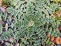Erodium cicutarium feuilles en rosettes, près de la Deûle, Nord de la France (mi-février 2019) 03.jpg