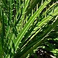 Eryngium alternatum 4.jpg