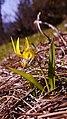 Erythronium grandiflorum ssp. grandiflorum 6.jpg