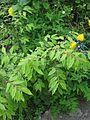 Euonymus alatus compactus - Flickr - peganum.jpg